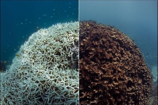 blanqueamiento-acelerado-de-los-corales---1_768